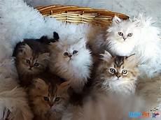 annunci gatti persiani gattini persiani golden e silver shaded in vendita a pisa pi