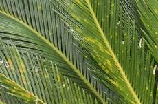 sago palm problems dealing with common sago palm pests