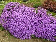 plante couvre sol persistant plante vivace couvre sol 224 feuillage persistant floraison
