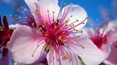 fleur de cerisier dessin dessin fleurs de cerisier