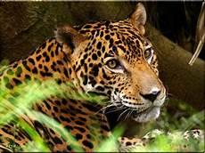 Pic Of Jaguar by Jaguar Pictures Search