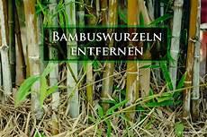 wie tief wurzelt rasen bambuswurzeln entfernen 4 alternativen wie tief wurzelt
