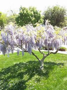 lilac tree weeping lilac tree reminds me of mississippi where i d