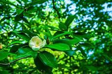 was hilft gegen mehltau magnolie 187 mehltau erkennen und behandeln