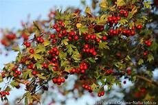 weissdorn bilder fotos rote beeren heilpflanze fr 252 chte am