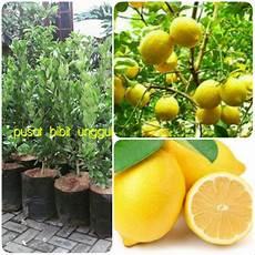 Jual Bibit Jeruk Lemon Jumbo Import Di Lapak Pusat Bibit