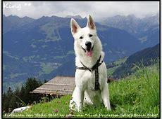 Zwitserse Witte Herder King Polar