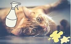 10 trucs pour enlever l odeur de pipi de chat odeur de