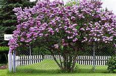 lilac tree select the right lilac for planting this
