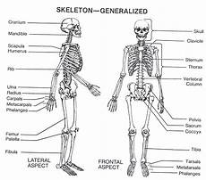 human skeletal system diagram labeled anatomy physiology project the systems of the
