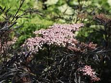 Holunder Black Lace - schwarzer holunder black lace 174 sambucus nigra black