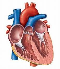 Gambar Animasi Jantung Manusia Gambar Animasi Keren