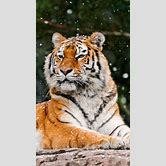 white-tiger-hd-snow