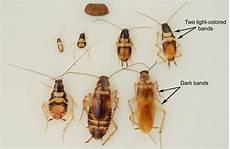 brown banded cockroach supella longipalpa