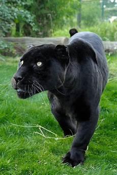 apocalypto jaguar attack 44 best jaguar noir images on black panthers