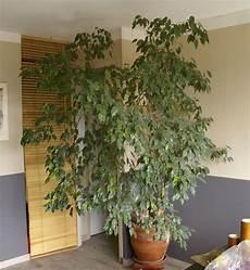 Ficus Benjamina Curly Qui Pert Ses Feuilles Forums