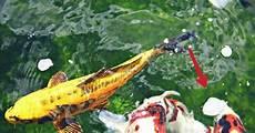 Gambar Ikan Koi Lokal Gambar Ikan Hd
