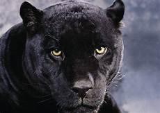 Image 30169115 Black Panther Animal Wallpaper Jpg