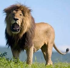 Asal Usul Perbedaan Singa Macan Dan Harimau