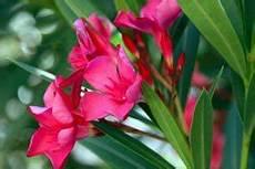 oleander vermehren schritt f 252 r schritt anleitung