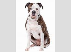 Hondenrassen   Amerikaanse Bulldog