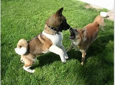 Two American Akita puppies on the grass photo and