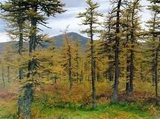 Bioma Taiga Coniferus Guru Geografi 1 Gunungkidul