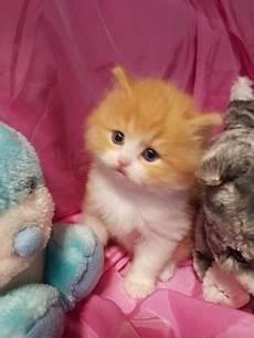 gatti persiani da adottare persiano gatti annunci animali trovacuccioli