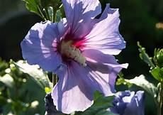 hibisus syriakus garteneibisch roseneibisch