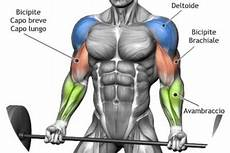 come allenare i bicipiti a casa anatomia muscolare azfitness pagina 2