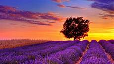 High Resolution Computer Backgrounds by Lavender Flower Field Sunset High Resolution Wallpaper For