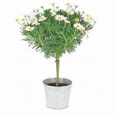 Livraison Arbre De Marguerites Plante Fleurie Foliflora