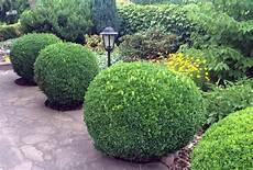wann buchsbaum schneiden wann schneidet buchsb 228 ume in form zq92 casaramonaacademy