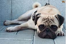 10 quieter breeds for who like a laid back