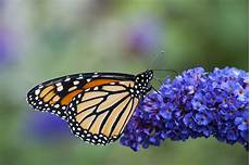 flowers that attract monarch butterflies