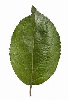apfelbaum hat braune blätter wittener natur entdecken der apfelbaum sparkasse witten