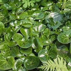 pflanzen shop günstig naturagart shop haselwurz kaufen