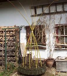Lebendes Rankger 252 St F 252 R Bohnen Aus Goldweide Weidenbau