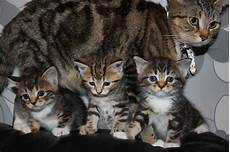 kittens for sale bengal kittens for sale tamworth staffordshire
