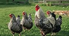 Hühner Im Garten - h 252 hnerhaltung im garten mein sch 246 ner garten