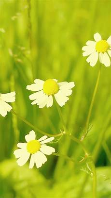 grass flower wallpaper iphone freeios7 mc91 wallpaper flower white grass nature