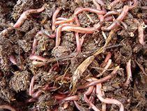 выращивание червей биогумуса