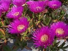 pianta grassa fiori viola barba di giove o drosanthemum hispidum