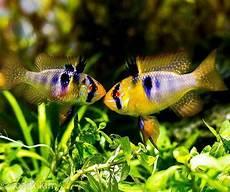 Paling Keren 41 Gambar Ikan Hias Tercantik Di Dunia