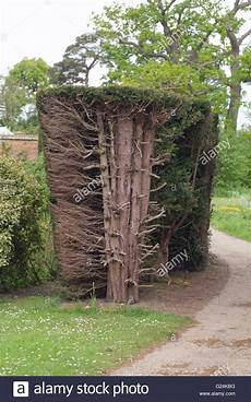 yew hedge taxus baccata hedge cut back revealing trunks