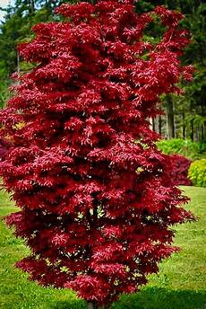 twomblys sentinel japanese maple the tree center