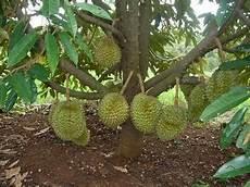 Agriculture By Faisal Nama Ilmiah Durian Dan Rambutan