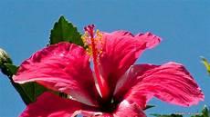 flor cayena del estado trujillo canal llanero la cayena curativas y hermosas flores