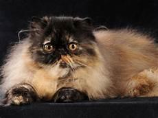 gatti persiani costo consigli per scegliere un cucciolo gattipersiani it