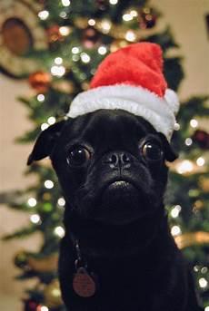merry pugmas black pug puppies cute pugs pug puppies